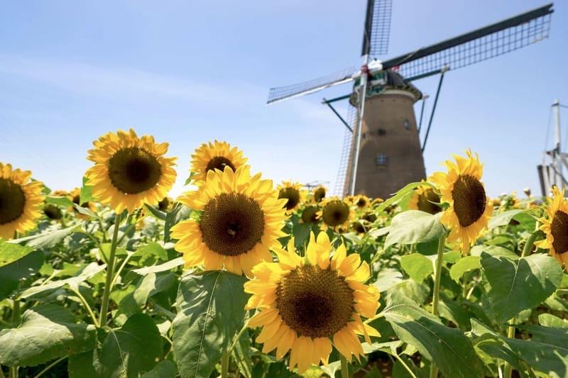 オランダ風車とひまわり畑