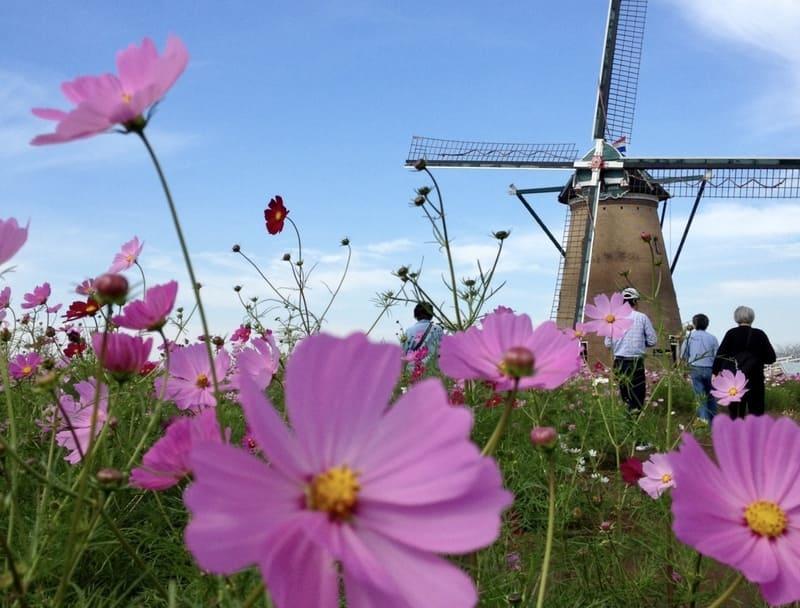 コスモスとオランダ風車