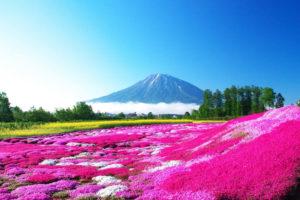 春に広がるピンクの絨毯「芝桜」素敵な1枚に収める撮り方5つのポイント!