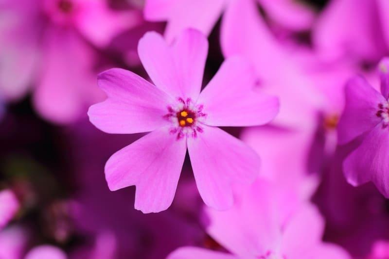 マクロレンズで撮った芝桜