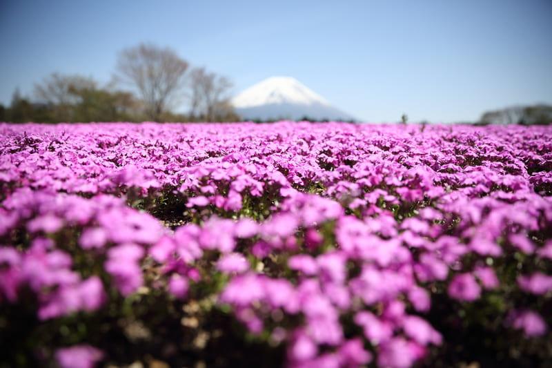 低い位置から撮った芝桜と富士山