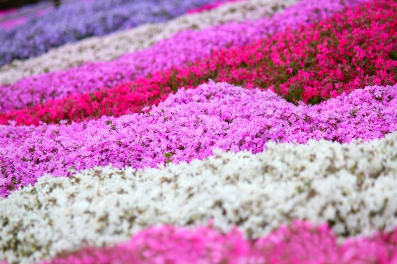 望遠レンズを使った芝桜の絨毯