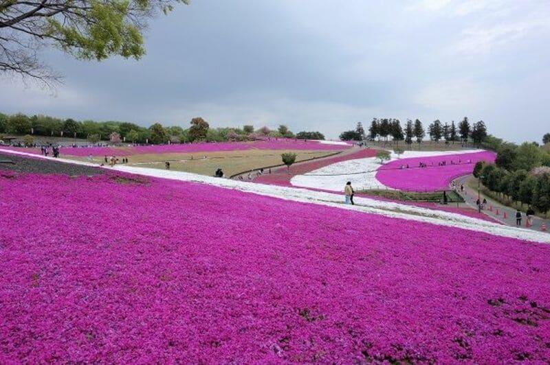 八王子山公園の芝桜