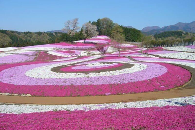 みさと芝桜公園の芝桜