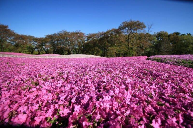 東部トレジャーガーデンの芝桜
