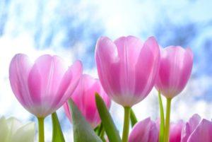 チューリップを印象的に撮るための5つのポイント!色鮮やかな春の訪れを楽しもう!