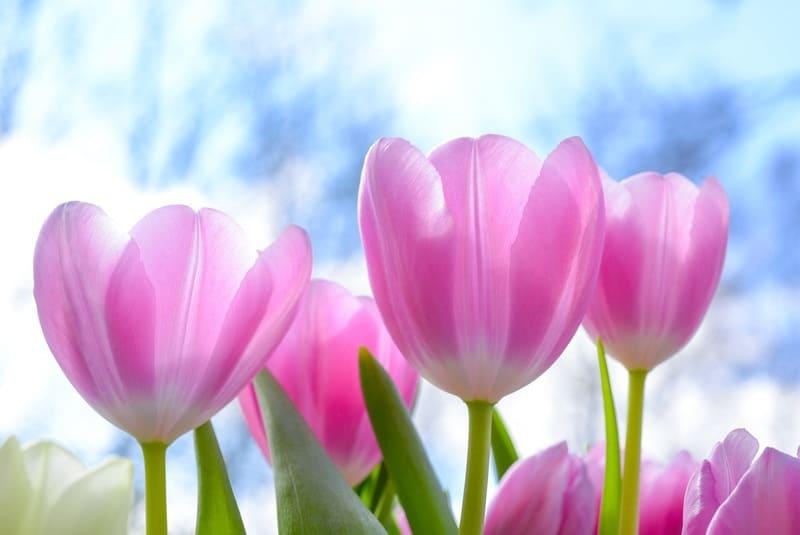 青空とピンクのきれいなチューリップ