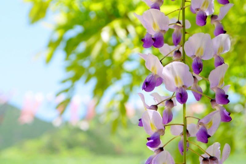 紫色の藤の花と新緑の緑