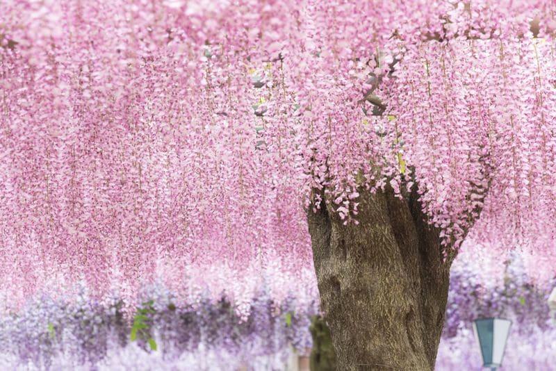淡いピンクと紫色の藤の屋根