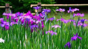 アヤメを素敵な写真に仕上げる6つの撮り方!菖蒲の特長と開花時期について