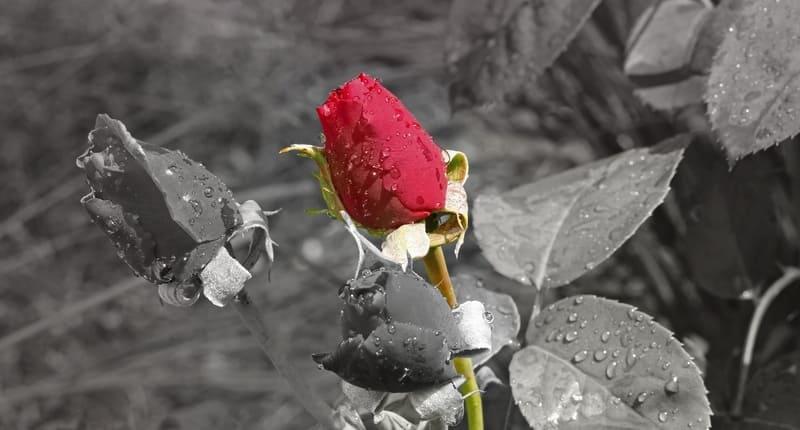 一輪のバラのセレクトカラー