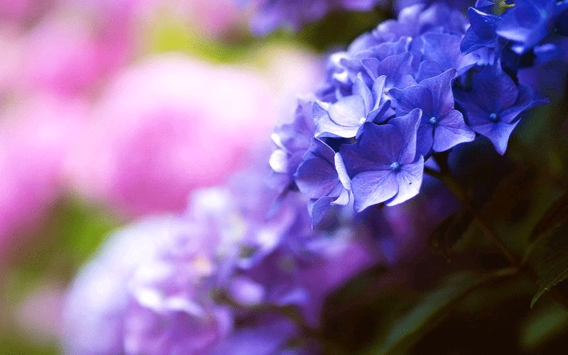 青とピンクの圧縮効果のある紫陽花