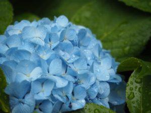 紫陽花を魅力的に写す撮影ポイントを紹介!雨の日でもアジサイを撮りに行こう
