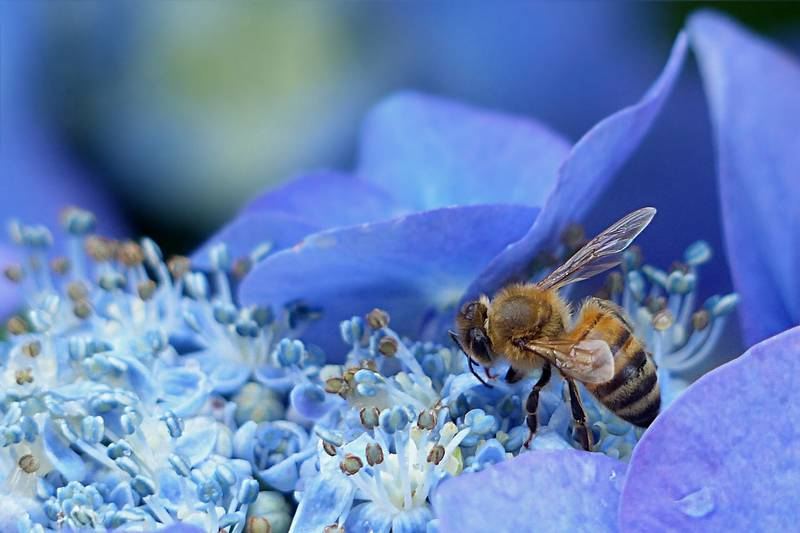 ハチと一緒に撮った紫陽花