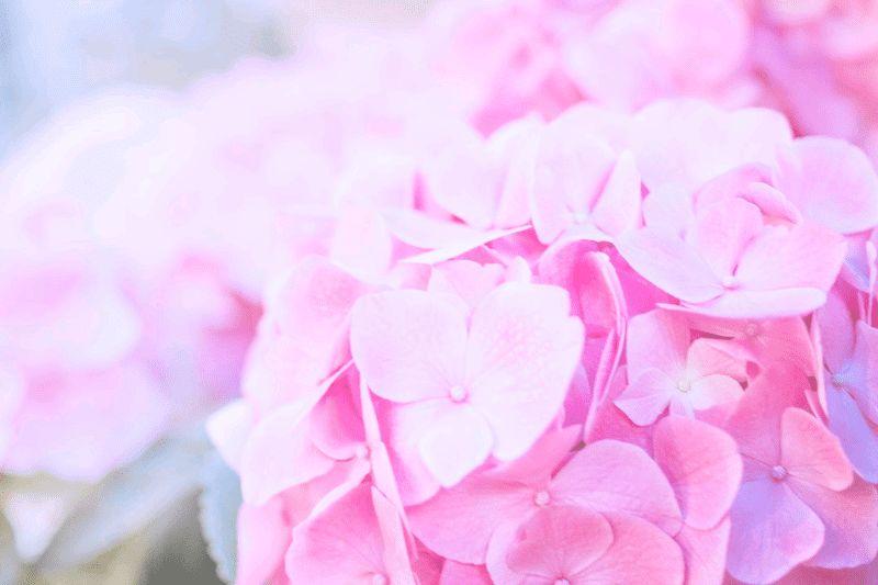 明るく撮ったピンク色の紫陽花