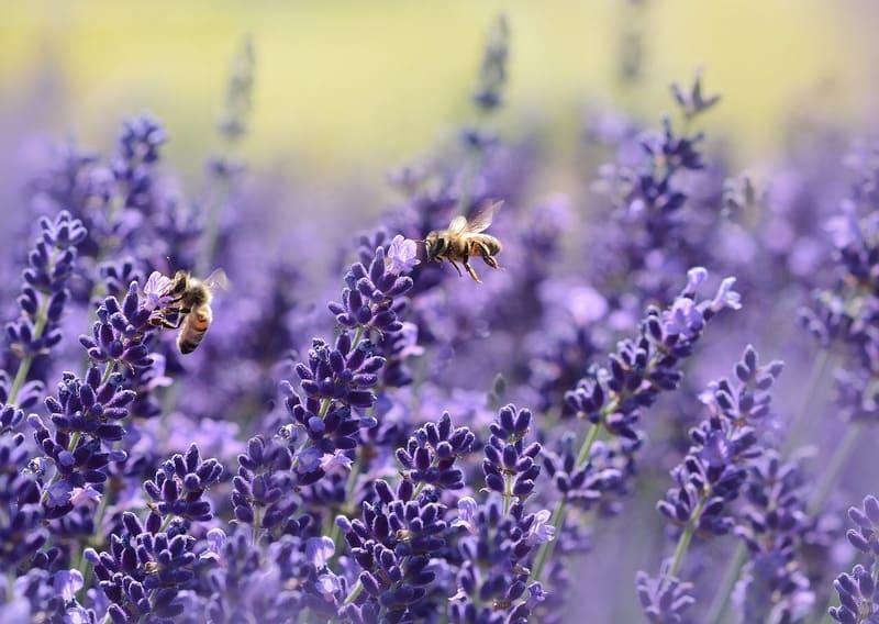 ラベンダーの香りに誘われたミツバチ