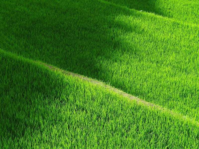 田んぼの青々とした深緑の稲
