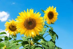 ひまわりを印象的に仕上げる5つの撮影ポイント!夏の思い出を素敵な写真に収めよう