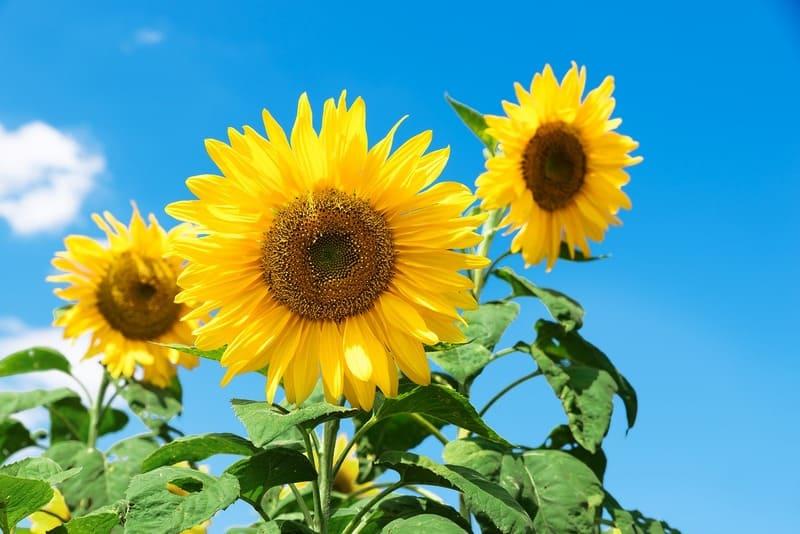 青空と色鮮やかな黄色いひまわり