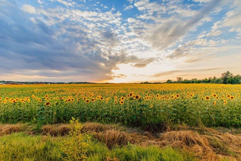 広角レンズで撮ったひまわり畑