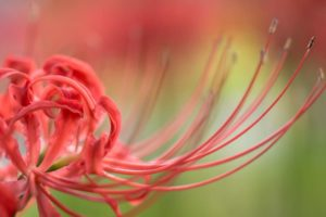 彼岸花を印象的に写す5つの撮り方!曼珠沙華の開花時期と見頃とは?夏の終わりを撮る