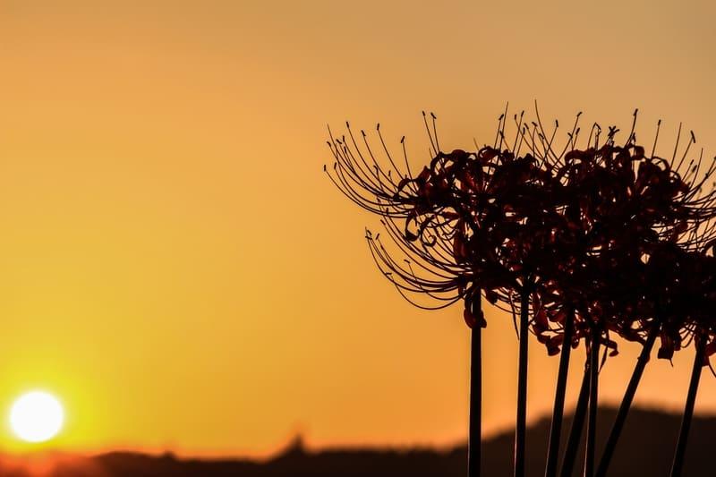 夕暮れ時の彼岸花のシルエット