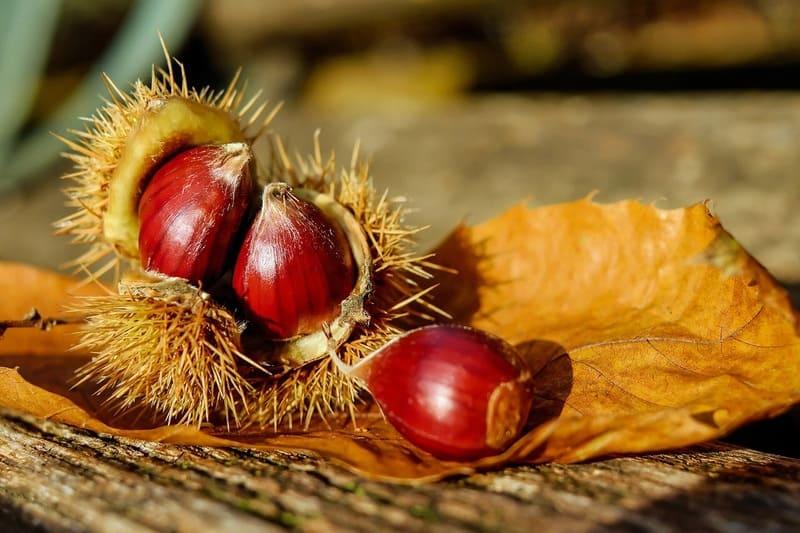 秋の完熟栗