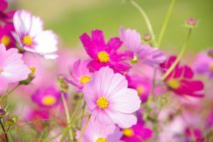 コスモス(秋桜)を印象的に写す6つのポイント!秋の風物詩を可愛く写そう