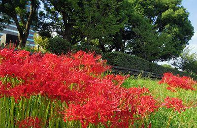 日比谷公園の彼岸花