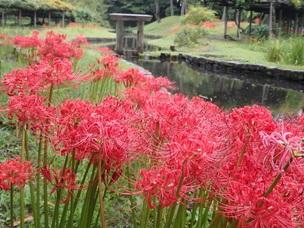 小石川の彼岸花