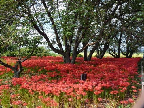 恩林寺の彼岸花