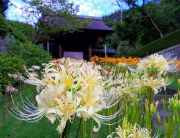 西方寺の白い彼岸花