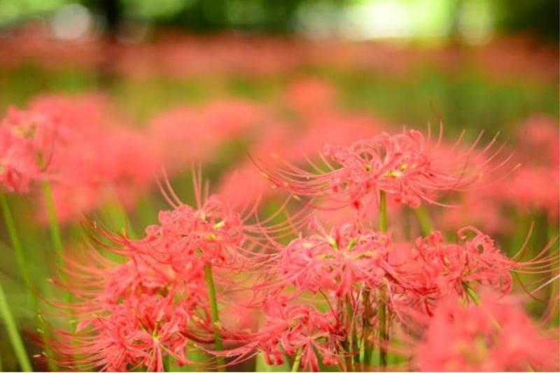 昭和記念公園の彼岸花