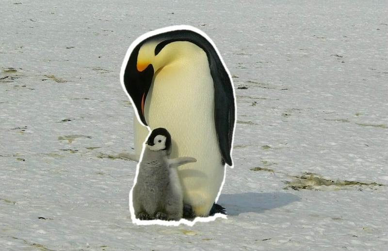 ペンギンの切り抜き画像