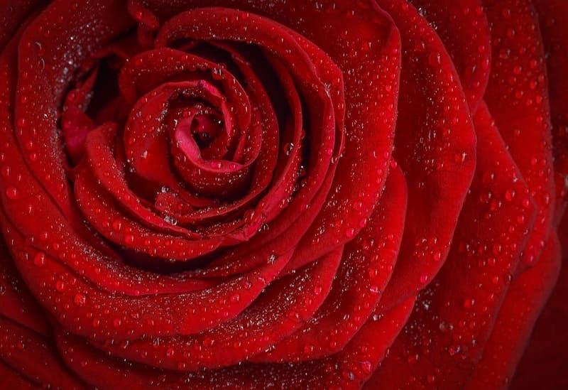 水滴のついた赤いバラ