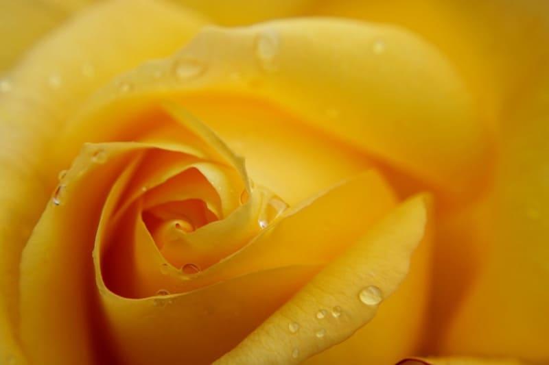 マクロレンズで撮った黄色いバラの花