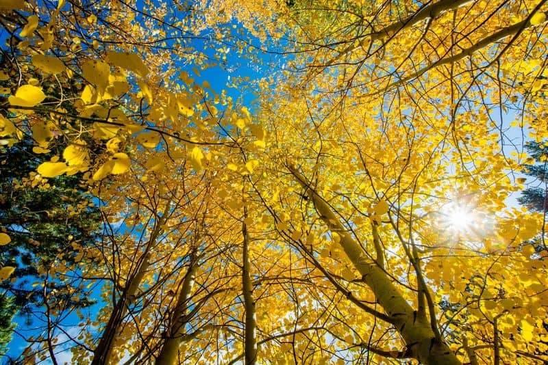 逆光で撮った鮮やかな黄色のイチョウ