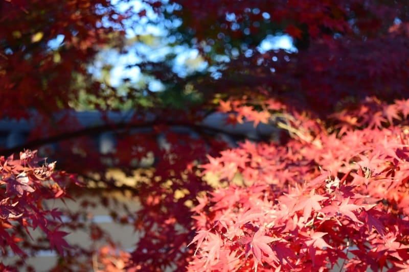 順光で撮った紅葉
