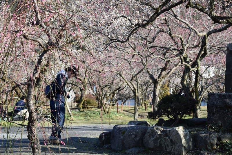 越生梅林の梅と男性