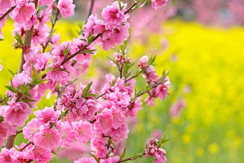 濃いピンクの桃の花と菜の花
