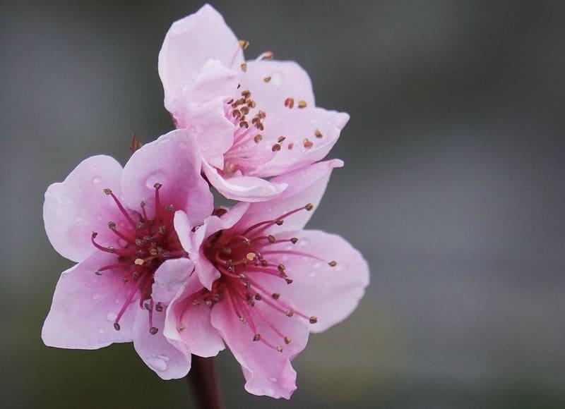 マクロレンズで撮影した桃の花
