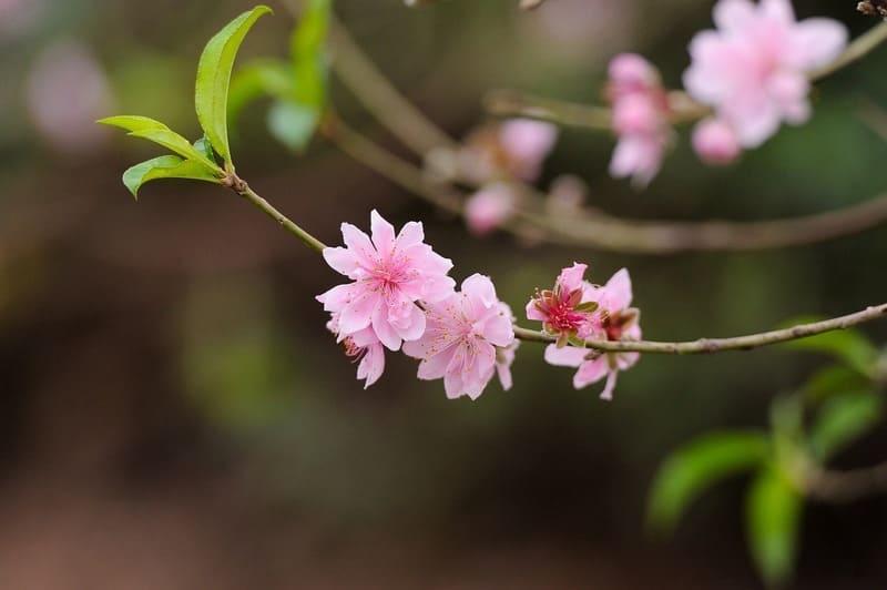 桃の花の特徴