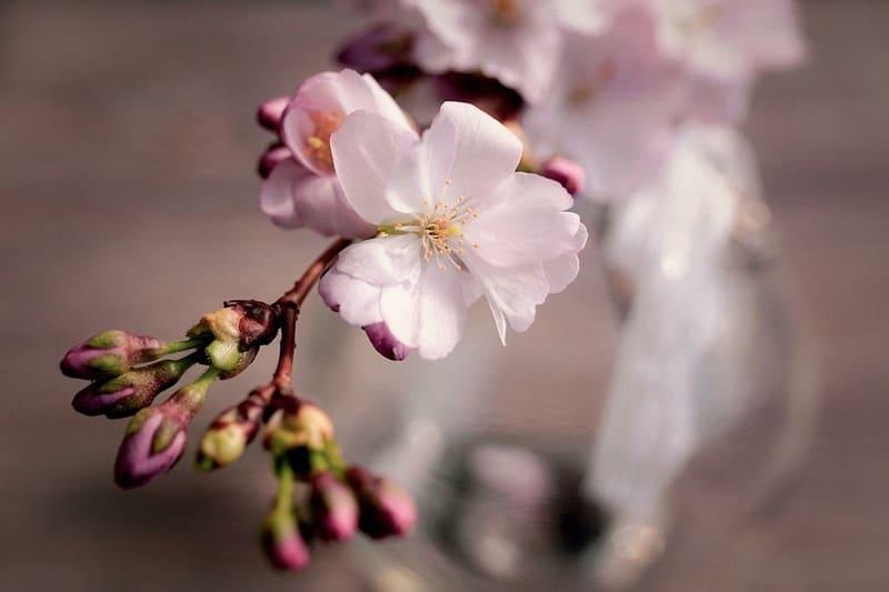 桜の花の特徴