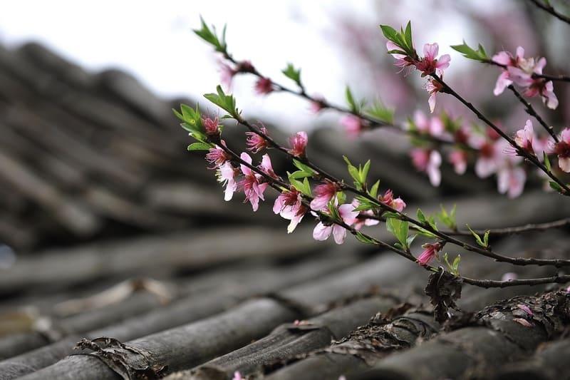 屋根の上に伸ばす桃の花