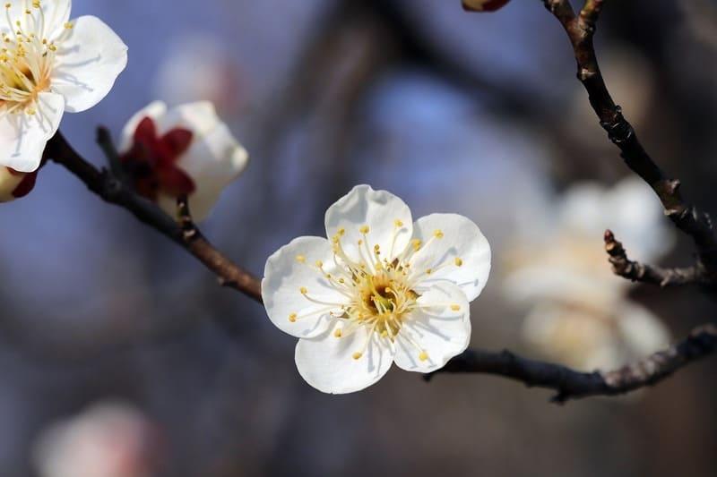 梅の花の特徴