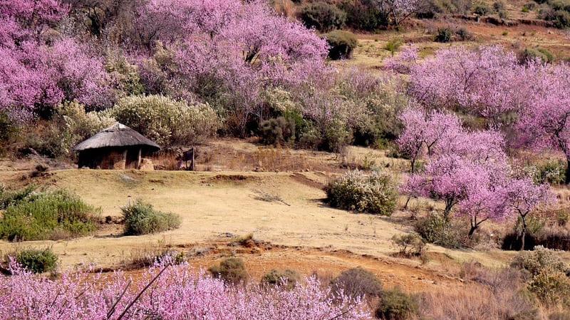 桃の花が一面に広がる田舎の風景